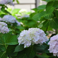 Everything I never knew about: Hydrangeas