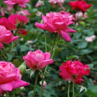 Everything I never knew about: knockout roses